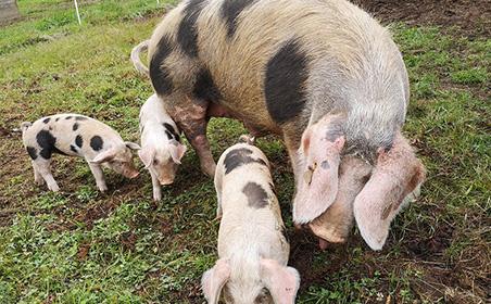 orthioes et ses bébés cochons